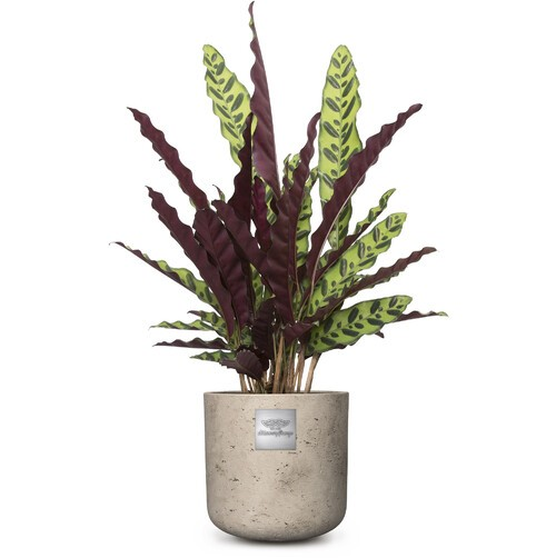 Mike (Calathea) pot diam. 20cm Hauteur de la plante env. 75cm