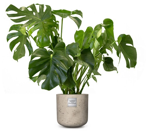 James (Monstera) pot diam.  25cm Hauteur avec la plante env. 85cm