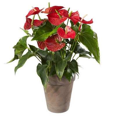 Anthurium avec cache-pot N° 23