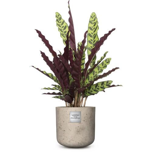 Mike (Calathea) pot diam. 20cm Hauteur de la plante env.75cm N°22H