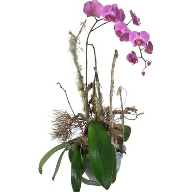 Une précieuse orchidée (en pot) N° 5