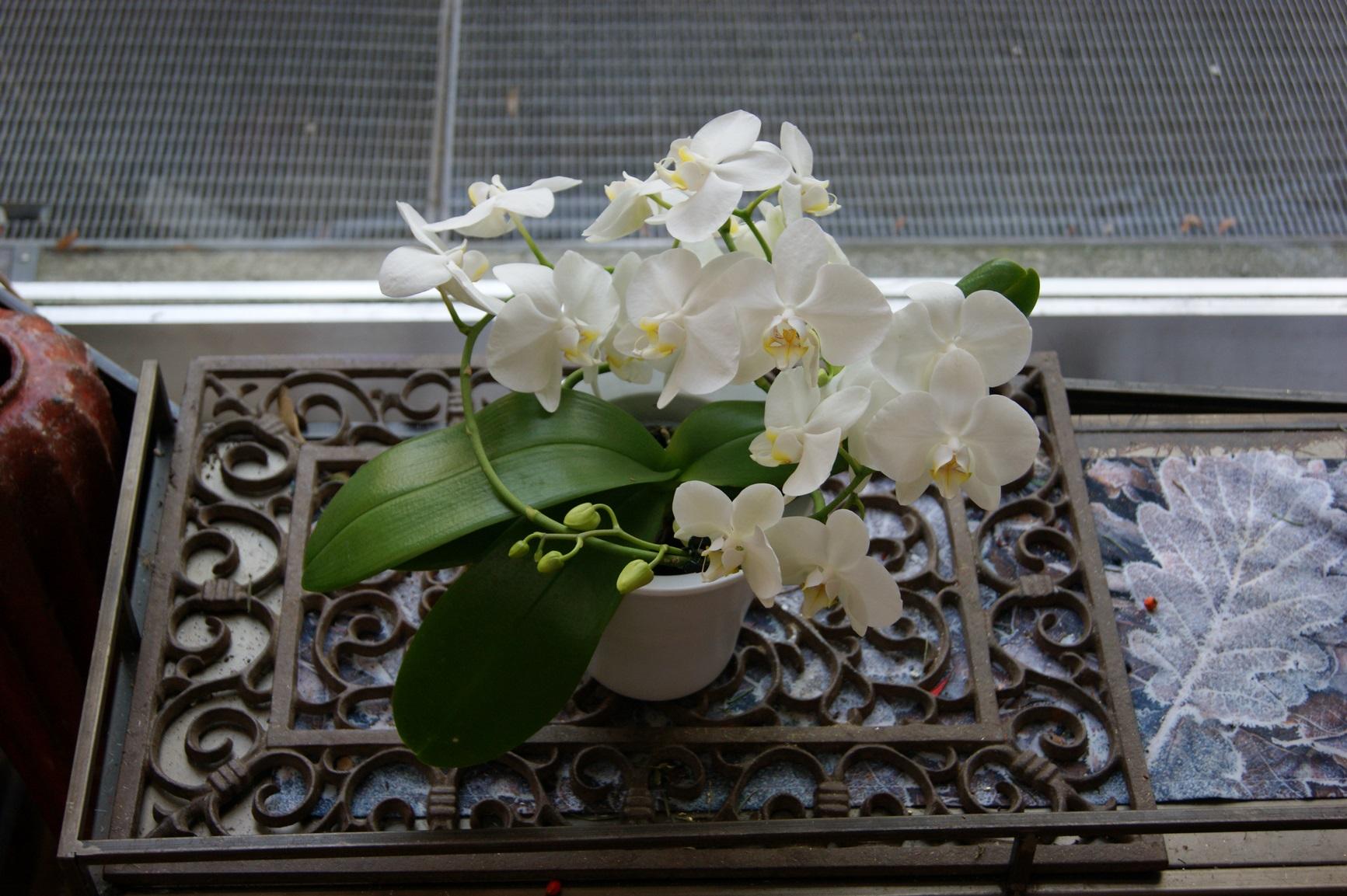 Orchidée blanche spirale avec cache-pot  N° 5