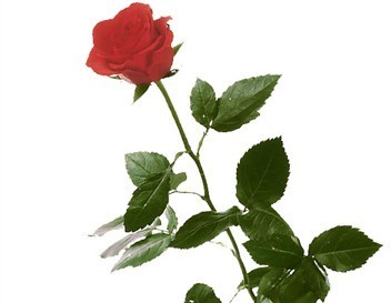 Une Rose rouge N°1