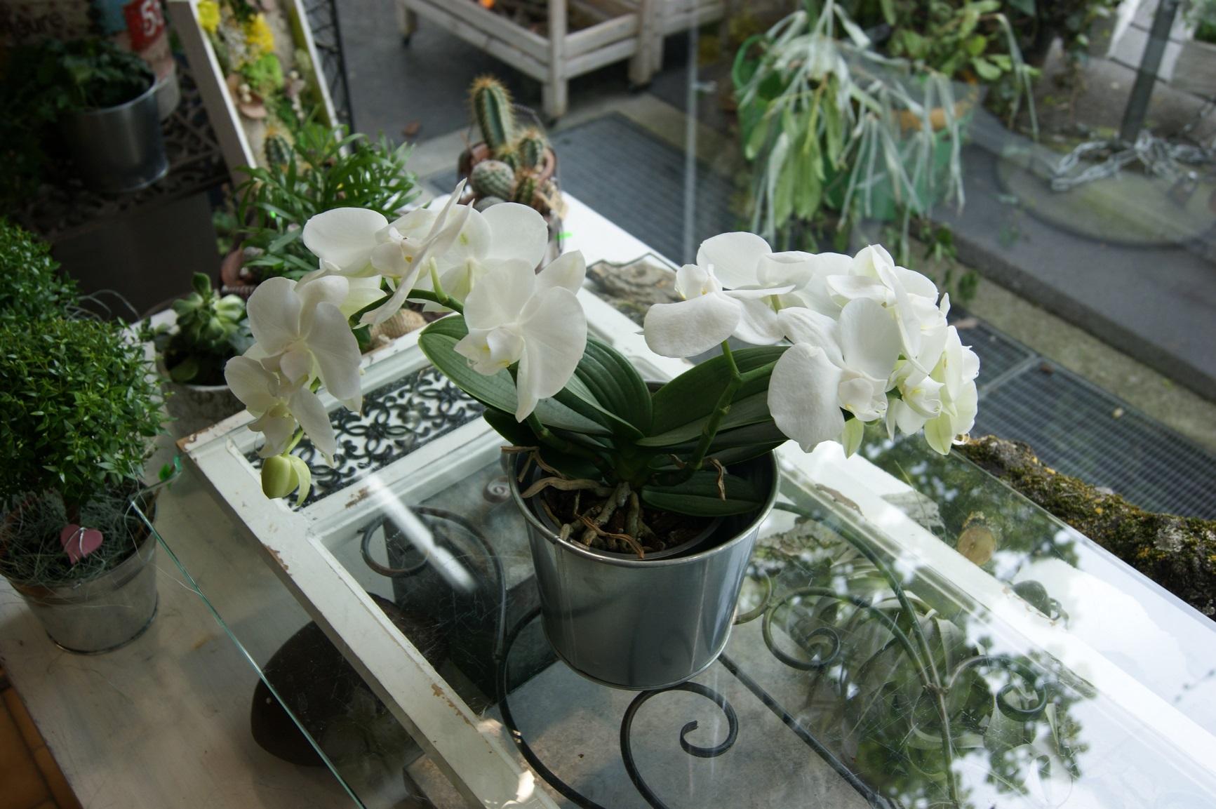 Orchidée blanche courtes tiges N° 1