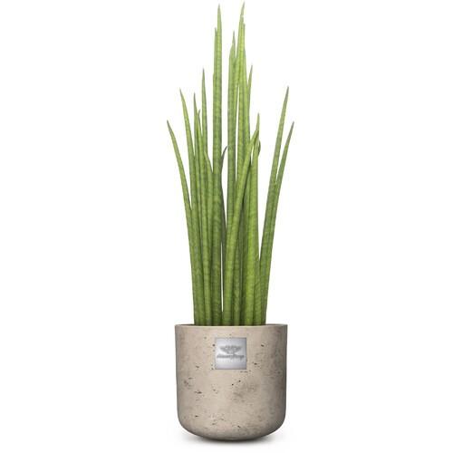 William (Sanevieria Mikado) pot diam. 15cm Hauteur de la plante env. 55cm