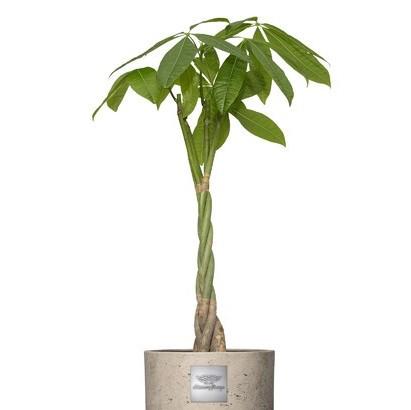 Charlie (Pachira aquatica) pot diam. 25cm Hauteure avec la plante env. 105cm