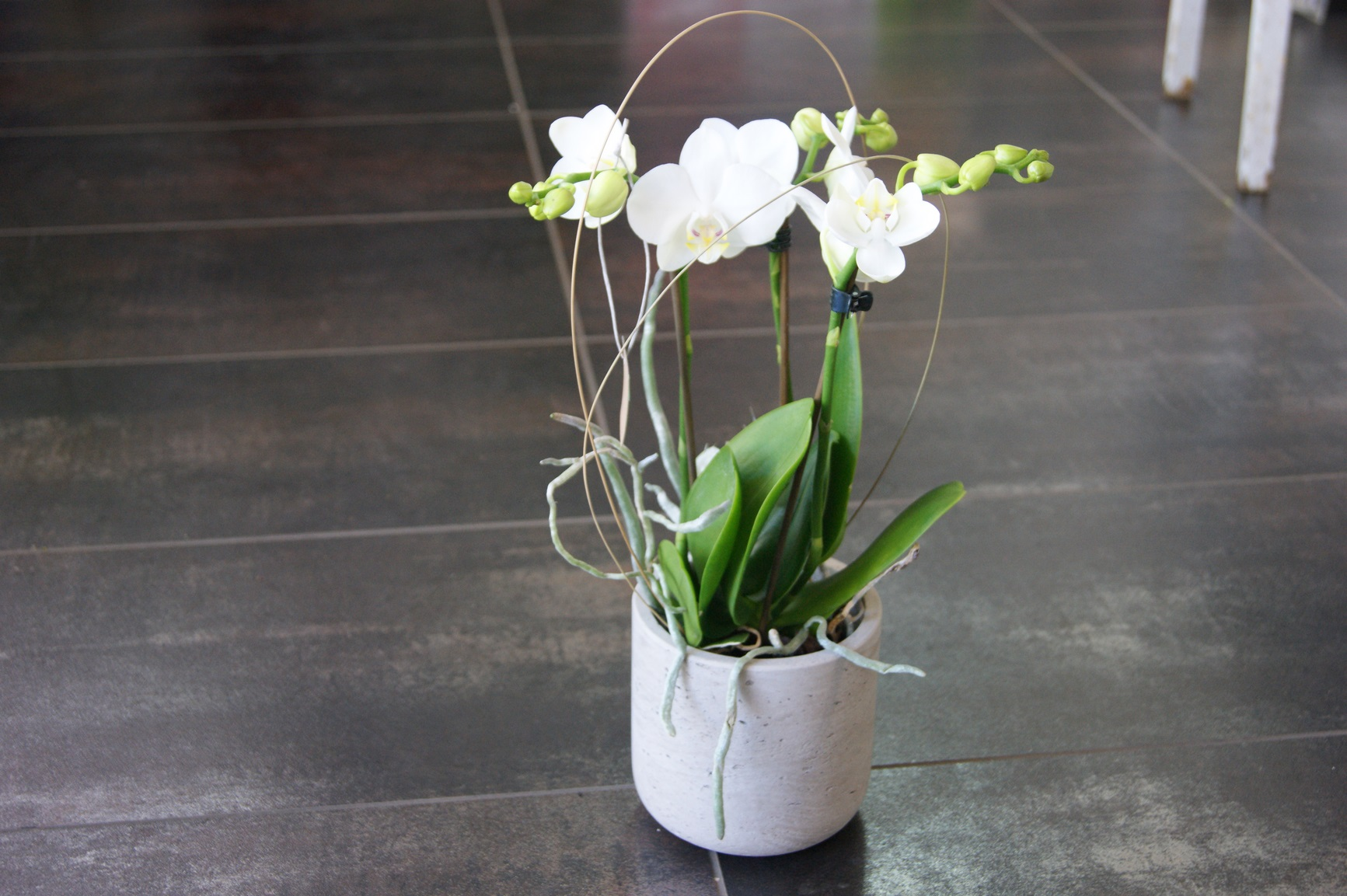 Petite plante d'Orchidée blanche  N° 2