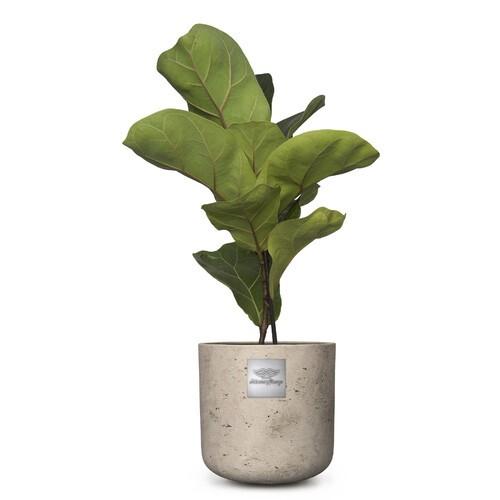 Frankie (Ficus lyrata bambino) pot diam. 15cm Hauteur avec la plante env. 50cm