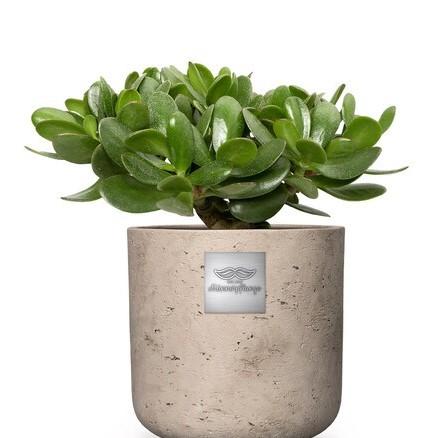 Bill (Crassula ovata) pot diam. 18 cm Hauteur avec la plante env. 30cm N°6 H