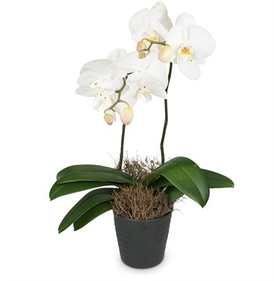 White Dream (orchidée) N°14 H