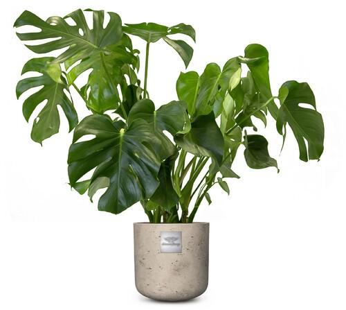 James (Monstera) pot diam. 25cm Hauteur avec la plante env.85cm N°21H